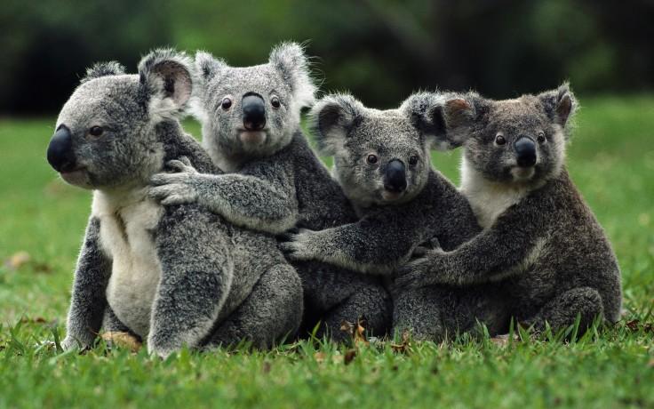 koala_sex.jpg